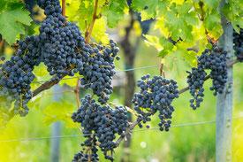 Weinstrasse Villány-Siklós demeter weingut naturwein terroir-wein ungarn weine ungarn ungarischer wein ungarische weine bio-weingut biowein bio-wein öko-wein ökowein