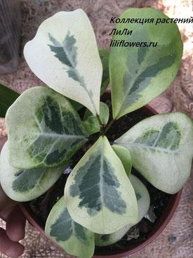 Ficus natalensis subsp. leprieurii 'Coconut Cream'