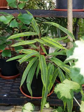 Ficus binnendijkii 'Amstel Green Gold'