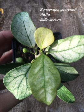Ficus deltoidea subsp. deltoidea splash