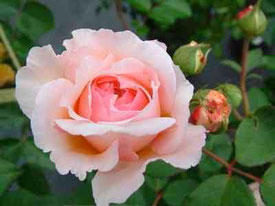 Rose im Pflanzenhof
