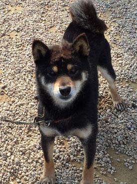 柴犬のムサシ君の写真