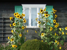 Sonnenblumen-Fenster