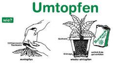 Wie man eine Hanfpflanze umtopft