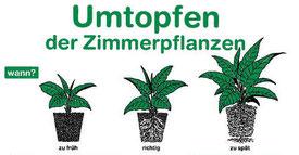 Wann man eine Hanfpflanze umtopft