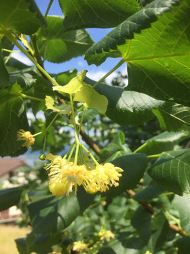 Lindenblüte Heilmittel Selbstpflücken Seelen Zauber Tuggen