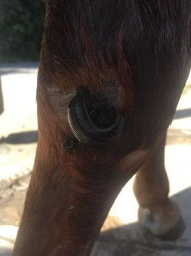 Blutegeltherapie Verletzung Pferd
