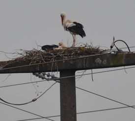 Weißstorchpaar auf dem Strommast am Äbtissensee im Frühjahr 2020