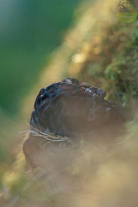 Nahaufnahme der Frühjahrslorchel Gyromitra esculenta