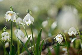 Einige Blüten des Märzenbechers im weichen Morgenlicht