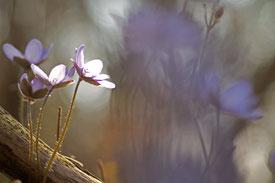 Makroaufnahme von vier Leberblümchen von der Morgensonne beschienen