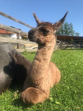 Lama Crias Gundel Lamafohlen Lamababy baby Mutterglück Weiblich Stute braun Herde Koppel