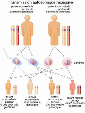 Fonctionnement de la transmission des gènes et en particulier du gène SMN1
