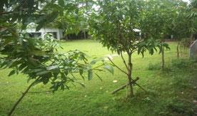 マンゴー、グアバ、レインツリーなど、かつて「子供の森」 計画で植えた木々が育つ校庭