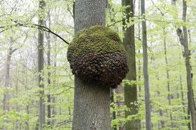Bäume und Erdstrahlen