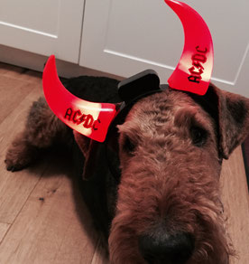 Airedale als AD/DC Fan - Frodo-Spencer
