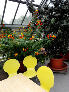 Gelbe Stühle des Cafe MINT im Gewächshaus Botanischer Volkspark Blankenfelde. Foto: Helga Karl