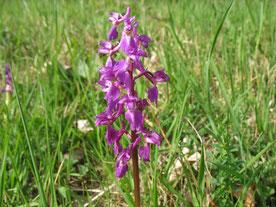 Orchideen Wiese