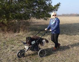Der Schapendoes Züchter zeigt wie man alte niederländische Schapendoes noch am Familienleben teilhaben läßt