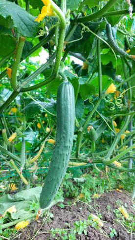 ミモレ農園 農薬不使用 きゅうり