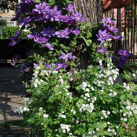 Harmonie végétale printanière entre clématite à grandes fleurs violettes et églantier blanc