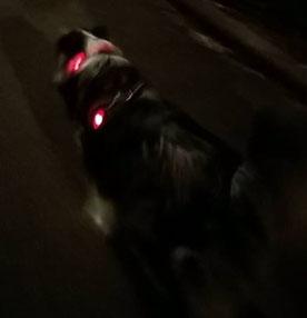 Capone avec la lumière Ruffwear et le collier lumineux.