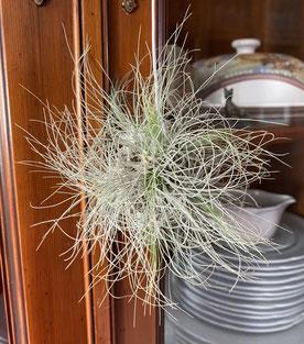 Tillandsia fuchsii gracilis