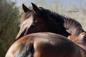 Zaum Pferd