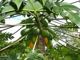 Papaya adult