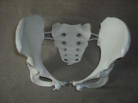 Becken, weibliche Beckenknochen, Knochenmodell Becken