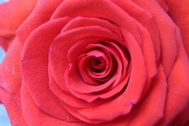 Rose, vollste Blütenpracht (Michaela Lechner)
