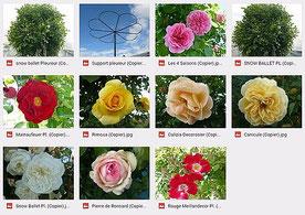 Tous les rosiers pleureurs disponibles à la Roseraie Da Ros Fauillet lot et Garonne