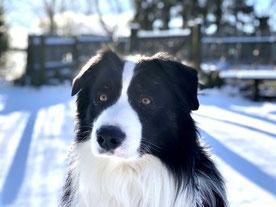 La tête d'un chien berger noir et blanc poils longs dans la neige par Coach Canin 16 educateur canin à domicile en charente