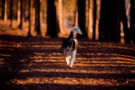 un chien noir et blanc marche dans un bois au coucher du soleil par coach canin 16 educateur canin charente