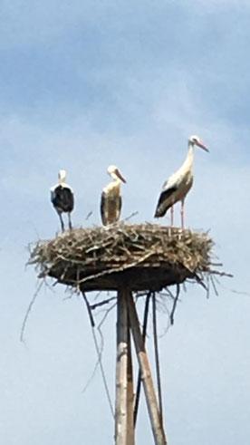 Zwei Jungstörche + ein Altsorch auf dem Nest in Erbenhausen - Foto: Ludolf Hoffmann