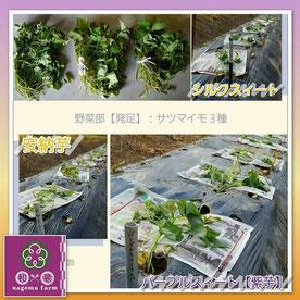 三種のサツマイモ【スリーtoポテト】 植え付け  和×夢 nagomu farm