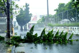 台風8号の接近による強風で倒れた街路樹=10日午後、石垣市の大浜小近く
