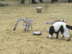 Lémuriens du zoo de Champrépus.