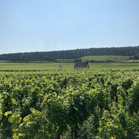 Involuté vins vignes