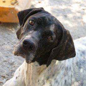 dreibeiniger Hund, Pointer, Hilfe, Süddeutschland, Griechenland