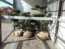 Pflanzenlogistik, lose Pflanzen, Bonsai
