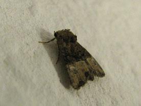 Trockenrasen-Halmeulchen (Mesoligia furuncula)