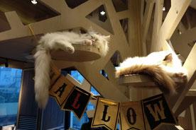 Cat Café Katzencafe Tokio Shibuya