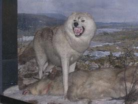 Canis lupus albus Wikipedia Museum St. Petersburg