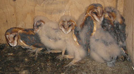 Nestlinge im Schleiereulenkasten (Foto: B. Langenegger)