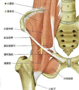 鼡径靭帯と大腿神経