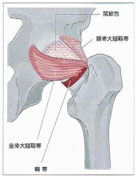 腸骨大腿靭帯と坐骨大腿靭帯