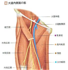 大腿内側面の筋