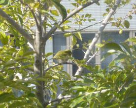 枝にとまったメジロ