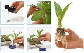 Hanfstecklinge, Cannabis Ableger mit Clon Gel & Wurzelhormon bei der Wurzelbildung unterstützt